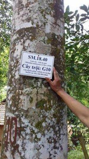 Bán cây lâm nghiệp giá trị kinh tế cao .