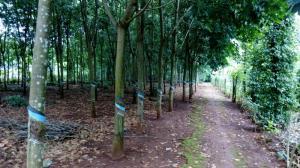 Bán đất vườn cao su 1,2ha tại Bình Phước sổ đỏ có 200m thổ cư
