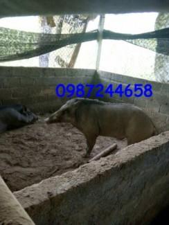 Trang trại lợn rừng xanh hòa bình chuyên cung cấp lợn rừng giống và lợn rừng thương phẩm