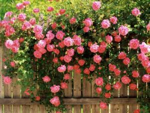 Giống hoa hồng leo đang có mặt tại shop với giá ưu đãi