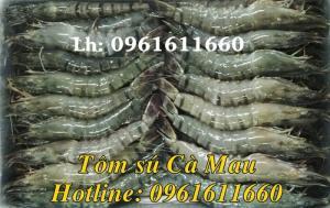 Cung cấp số lượng lớn  Tôm sú Cà Mau các size 8,10,12,15,18,20,25,30,35,40,45