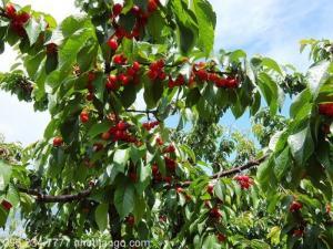 Cây cherry có ở việt nam