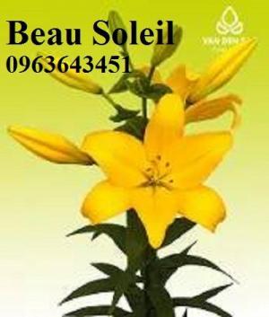 Chuyên sỉ, lẻ củ giống hoa ly tết đủ màu, đủ size với số lượng lớn, chất lượng cao, gia giống hợp lý