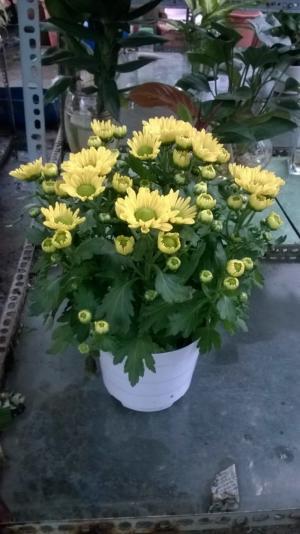 Hoa Cúc Chậu Đà Lạt