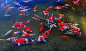 Thiết Kế Hồ Cá Koi Chất Lượng Giá Hấp Dẫn