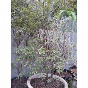 Cây nho thân gỗ 8 năm tuổi đã ra trái