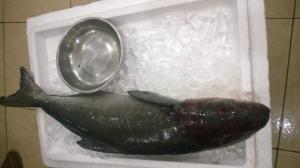 Cá bớp tươi ( mới ngợp)  ( size 5 kg/con)
