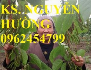 Bán Cây giống Dâu Quả Dài, Cây Dâu Đài Loan,Cây Dâu Quả Dài Đài Loan nhập khẩu chất lượng cao