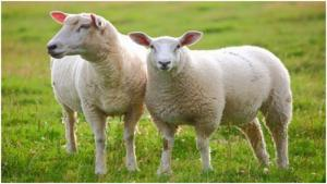 Bán buôn bán lẻ nguyên liệu chiết xuất nhau thai cừu