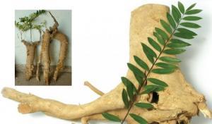 Cung cấp nguyên liệu Eurycoma (Tongkat Ali) -...