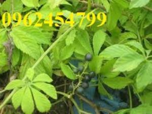 Bán giống cây Giảo Cổ Lam số lượng lớn, cây đảm bảo, cung cấp Thân, Cành, Lá Giảo Cổ Lam sấy khô