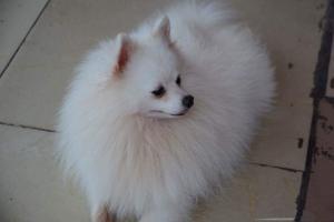 Nhận phối giống chó phốc sóc (Pomeranian)