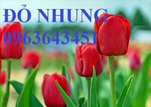 Bán củ hoa tuylip nhập khẩu Hà Lan, đủ màu, số lượng lớn, chất lượng cao, giao hàng toàn quốc
