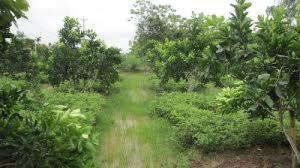 Cần tiền trả nợ bán gấp 4 công đất trồng bưởi 300 tr 1 công