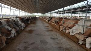 Bò được nuôi tỷ lệ phân cho ra cực tốt