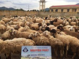 Bán cừu thịt cừu giống Ninh Thuận