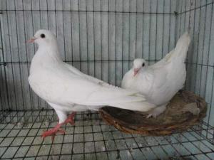 Chuyên cung cấp chim bồ câu giống