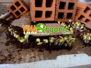 Bán hạt giống rau mầm chất lượng cao VinaOrganic TP HCM