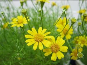 Hạt giống hoa báo xuân - hạt giống hoa đồng tiền - hạt giống hoa cúc châu phi