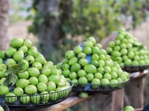 Cây giống ổi Đông dư chuẩn giống, chất lượng cao, giao cây toàn quốc