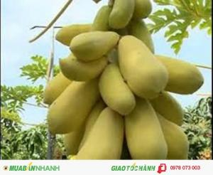 Cây giống, hạt giống đu đủ vàng lún cao sản Thái, chuẩn giống,chất lượng cao