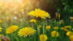 Hạt giống hoa bồ công anh - Vị thuốc dân gian