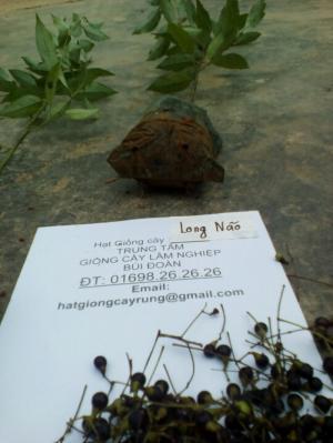 Cung cấp cây long não giống chất lượng cao