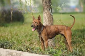 Nhận Phối Giống Chó Phú Quốc