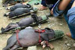 Thịt lợn bản Hòa bình