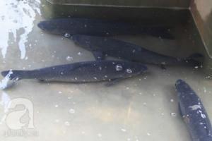 Bán cá trắm đen tươi sống tại Hà Nội