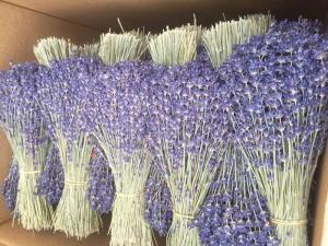 Hoa lavender provence_pháp