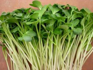 Hạt Giống Rau Mầm 100% không chất bảo quản