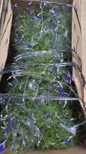 Sỉ hoa lavender Đà lạt