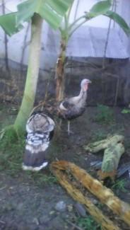 Bán gà lôi