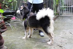 Cần bán  2 em chó alaska cái hợp cho nuôi cảnh đi off hay sinh sản bảo hành đầy đủ