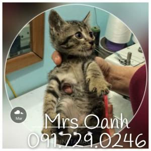 HN - Tìm nhà cho 3 bé mèo mướp siêu đáng yêu
