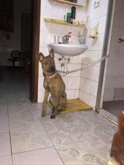 Chó Phú Quốc vằn vện thuần chủng