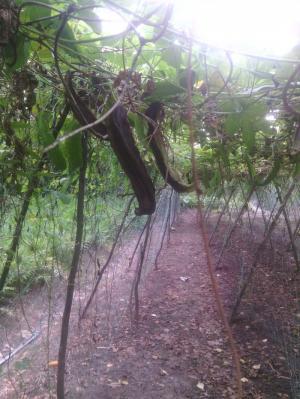 Bán hạt đậu rồng  dứt bệnh đau dạ dày bằng hạt đậu rồng già