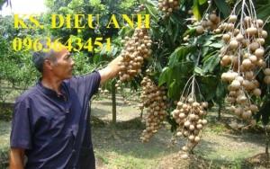 Cây giống nhãn muộn Hưng Yên, nhãn hương chi, nhãn T6 Hà Tây, nhãn không hạt các loại