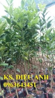 Giống cây quýt đường thái lan, cam kết chuẩn giống, đảm bảo uy tín chất lượng, giao cây toàn quốc