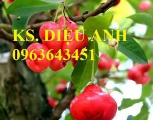 Giống cây roi thái đỏ, cam kết chuẩn giống, giao cây toàn quốc