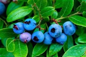 Chuyên cung cấp giống việt quất, cây giống việt quất, giống việt quất sim úc,việt quất bắc mỹ, việt quất
