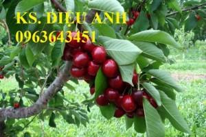 Cây giống cherry, cam kết chuẩn giống, giao cây toàn quốc