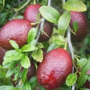 Chuyên cung cấp giống cây chanh máu, chanh đỏ, chanh ruột đỏ,chanh, giống chanh ruột đỏ