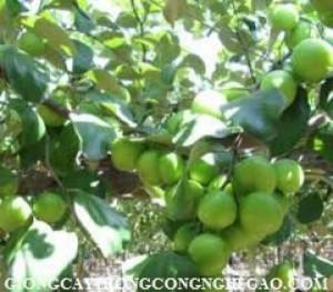 Chuyên cung cấp giống táo ngọt h12, táo ngọt h12,cây giống táo ngọt h12,táo h12,táo