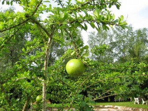 Chuyên cung cấp giống cây đào tiên, cây giống đào tiên,đào tiên chất lượng cao