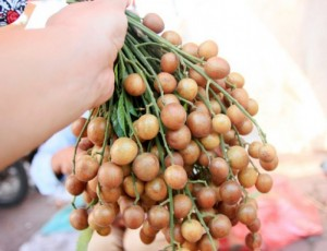 Chuyên cung cấp cây quất hồng bì,giống cây quất hồng bì,quất hồng bì chất lượng