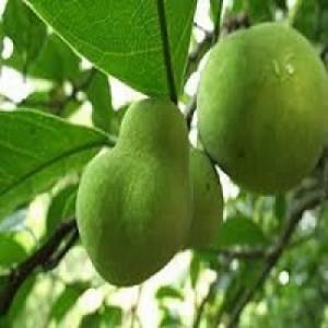 Chuyên cung cấp giống cây chay, cây chay,cây chay giống, chay