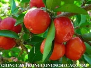Chuyên cung cấp giống cây sơri ,quả sơri, cây giống quả sơri, sơri , giống cây quả sơri