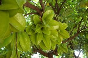 Chuyên cung cấp giống cây khế chua, cây khế chua, khế chua, khế